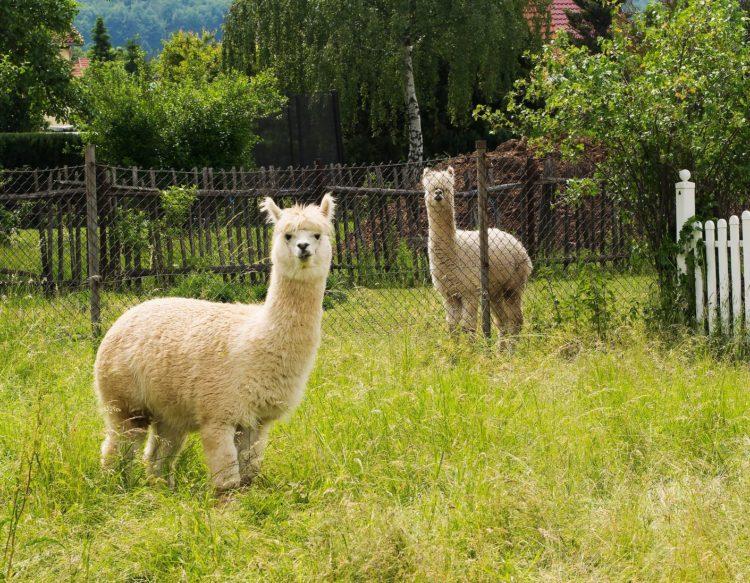 alpaca-2907771