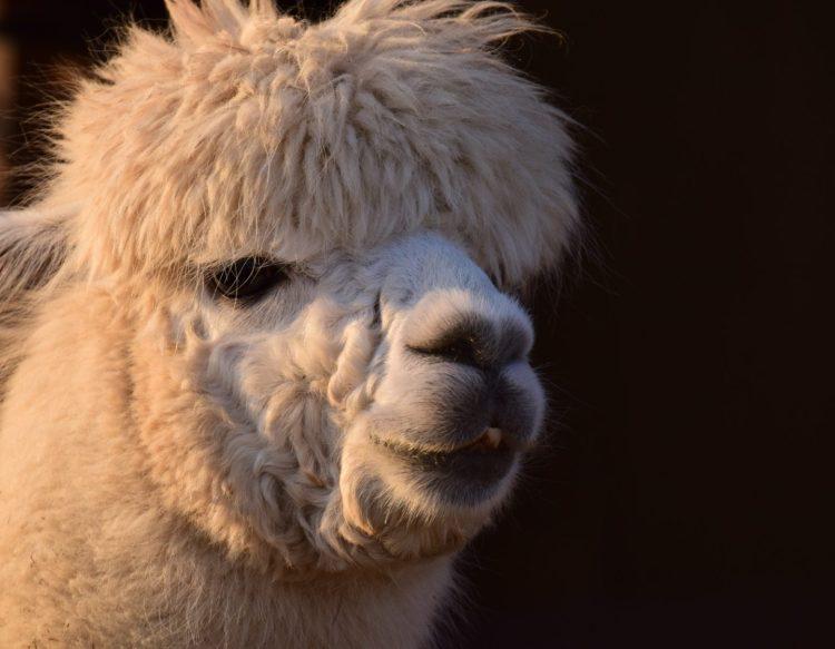 alpaca-3163047