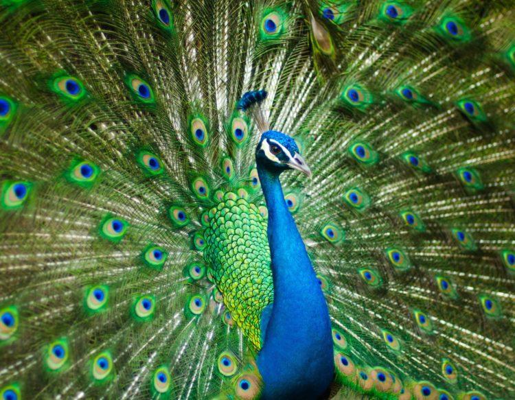 beautiful-male-peaco