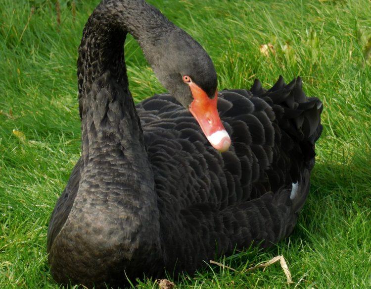 black-swan-2879038