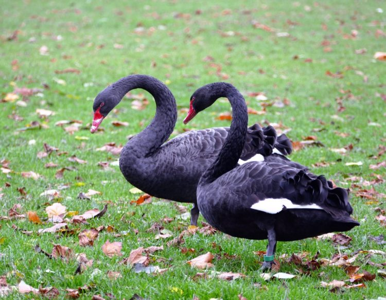 black-swans-1021084