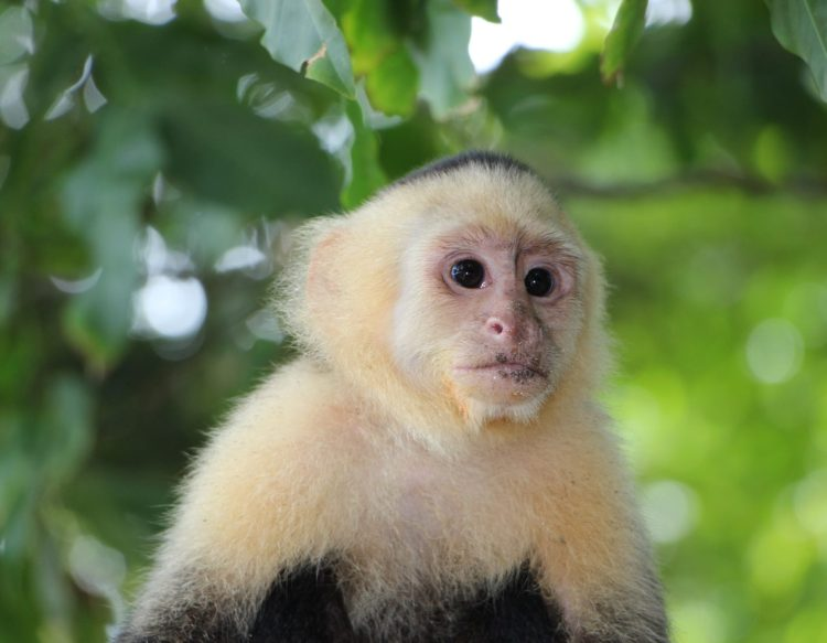 capuchin-monkey-2759