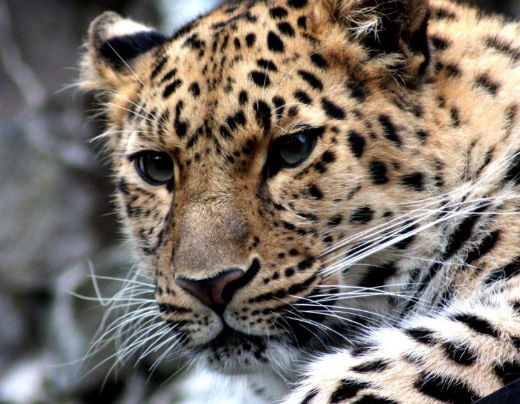 leopard-448901