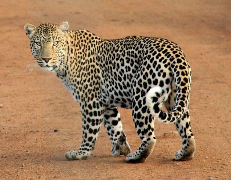 leopard-592187