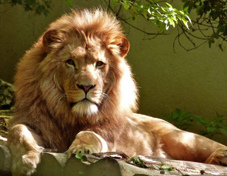 lion-1840092