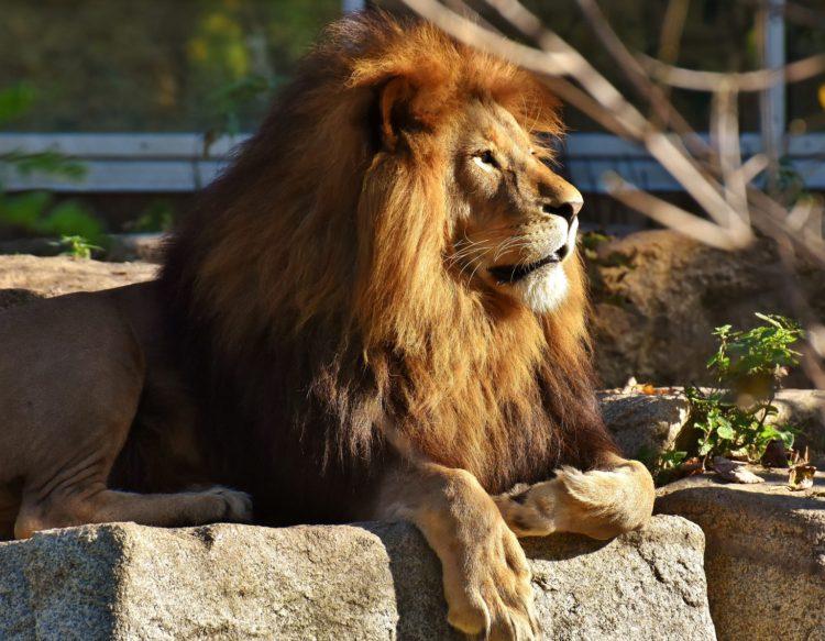 lion-2895641