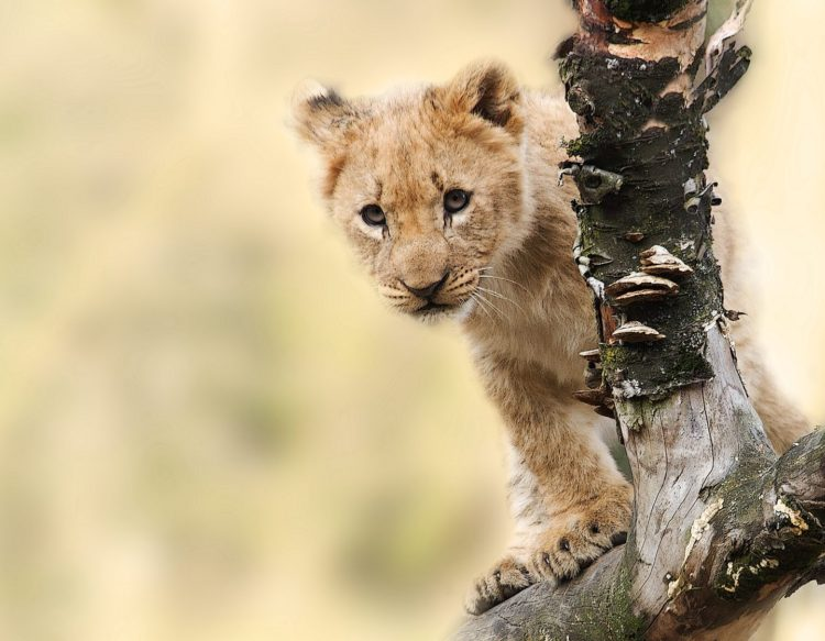 lion-565820