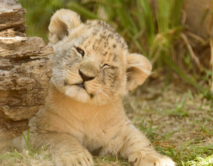 lion-cub-2808197