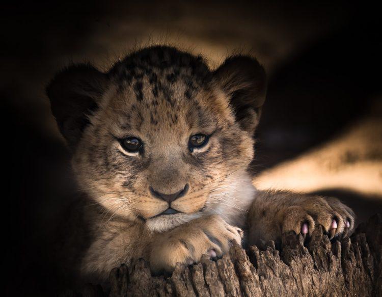 lion-cub-2886432