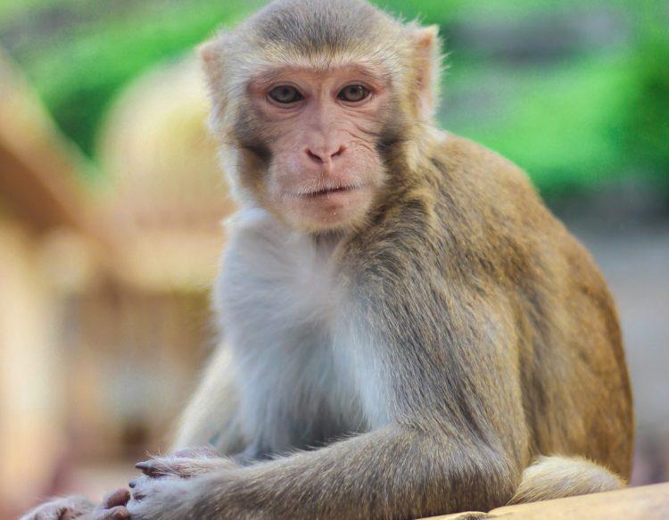 monkey-3087221
