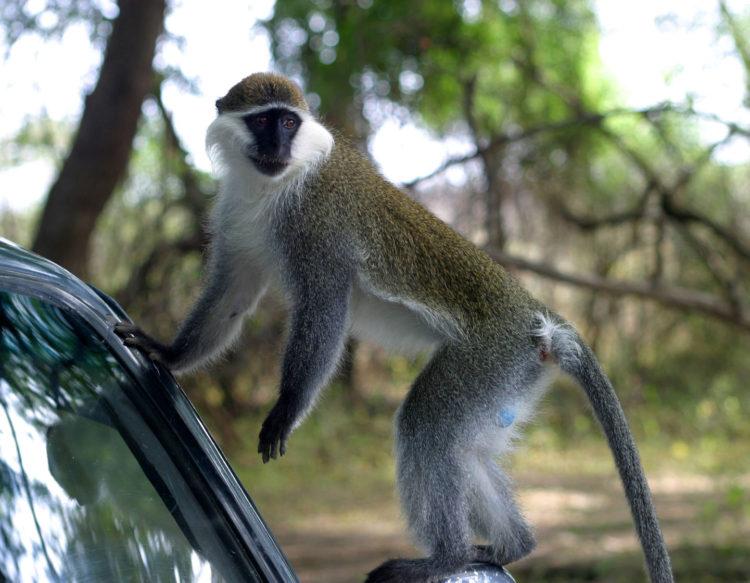 monkey-on-car-154984