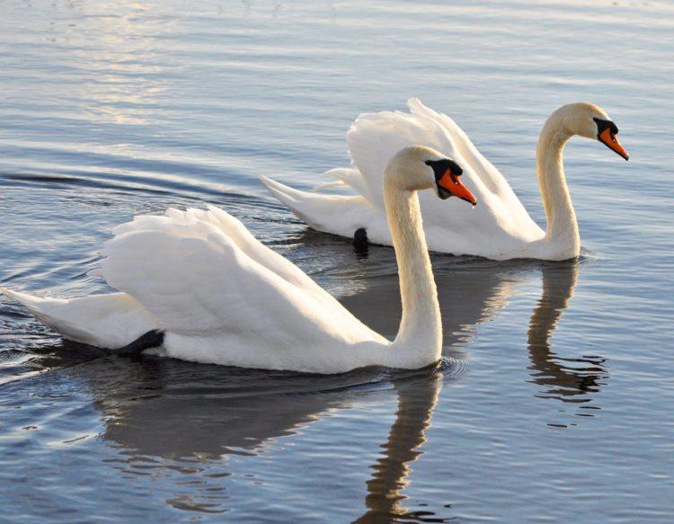 mute-swan-3202415