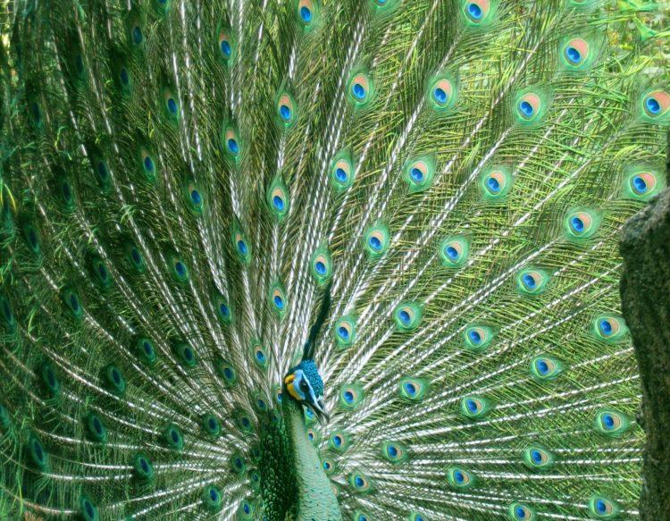 peacock-1290248