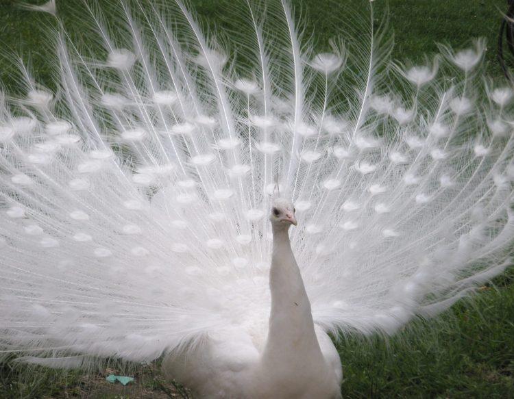 peacock-141992