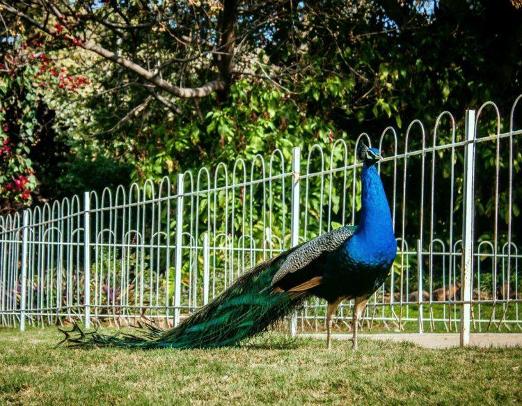 peacock-2728355