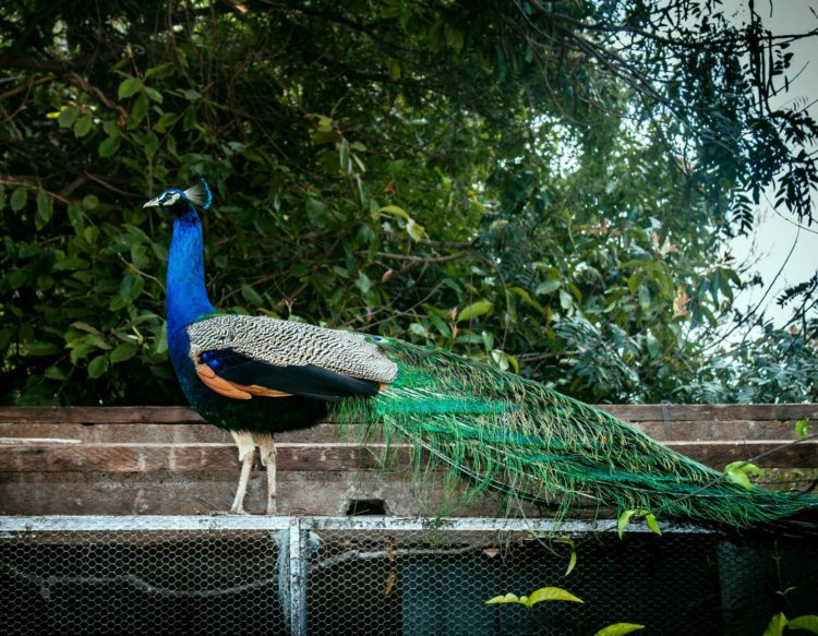 peacock-2728356