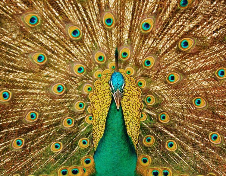 peacock-3098451