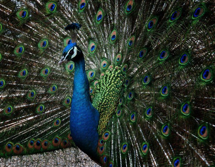 peacock-3222046