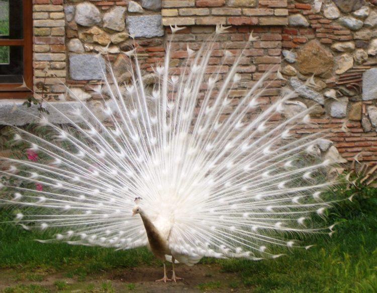 peacock-386304