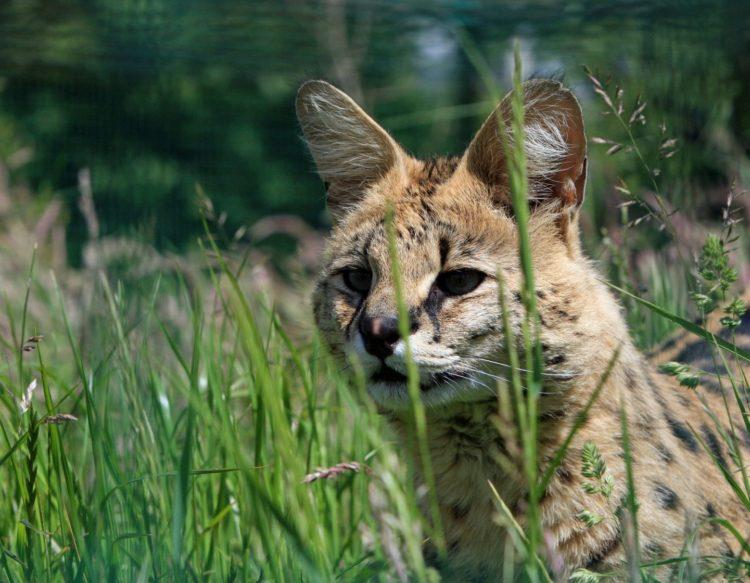 serval-220493