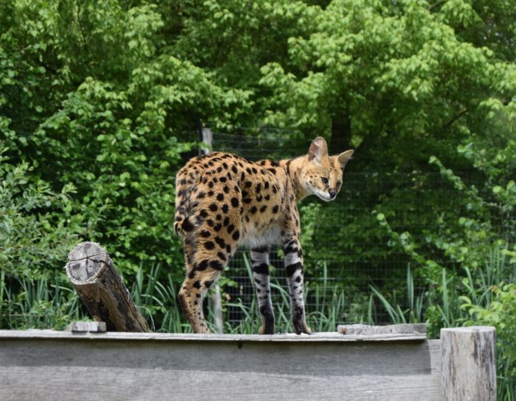 serval-2374383