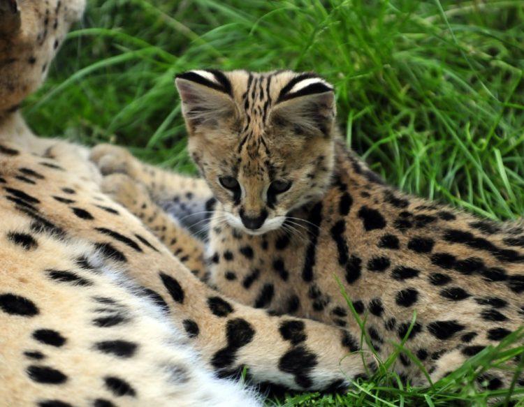 serval-kotenok-deten