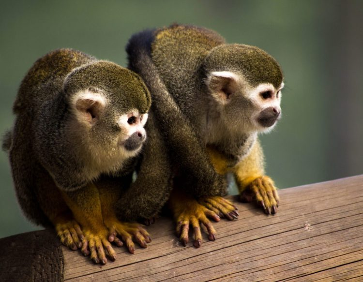 squirrel-monkey-1335