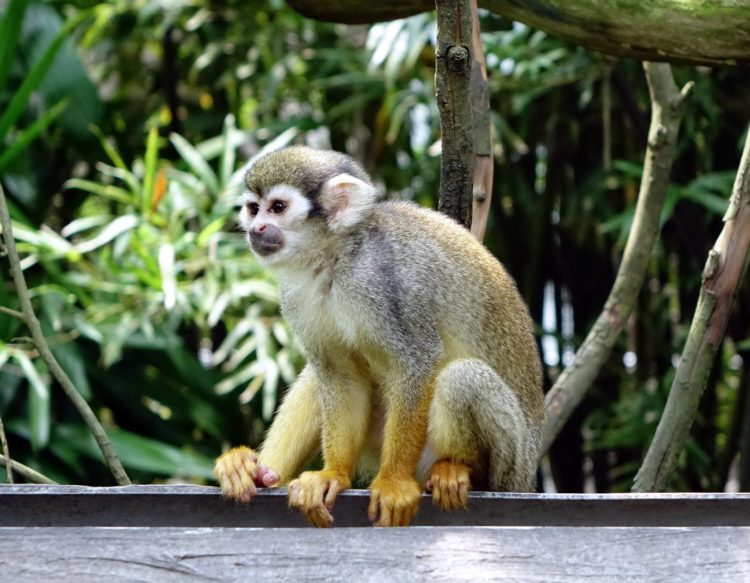 squirrel-monkey-5051