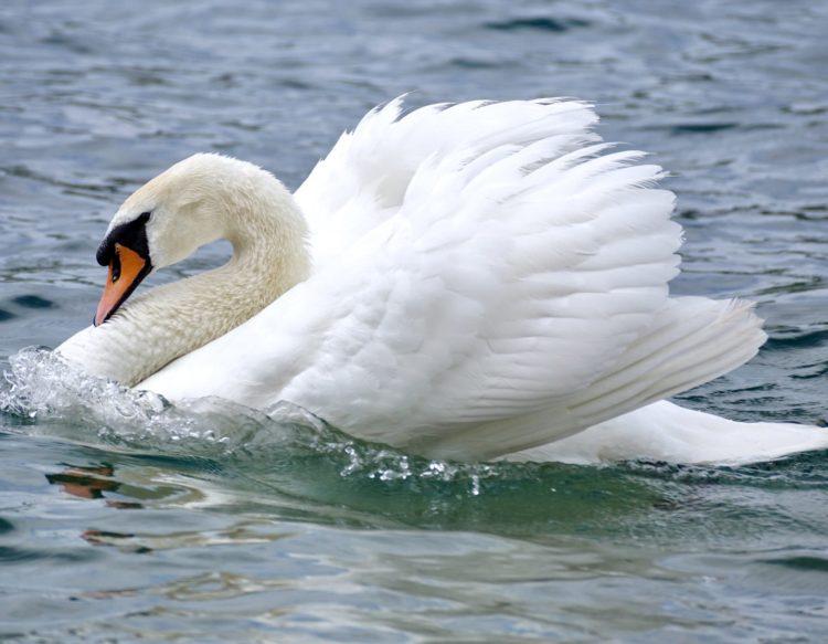 swan-2441213