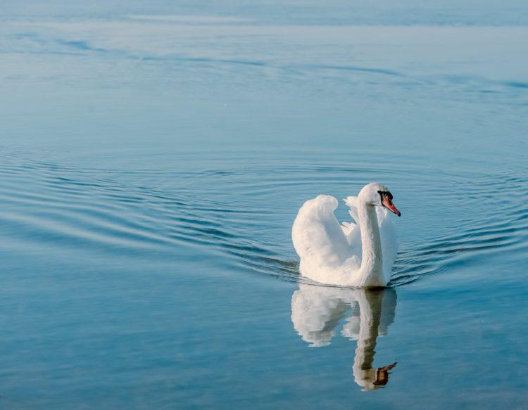 swan-938242