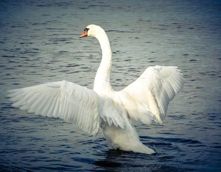 swan-943195