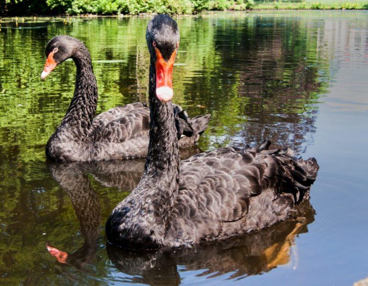 swans-2366759