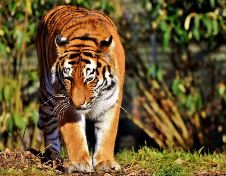 tiger-3261922