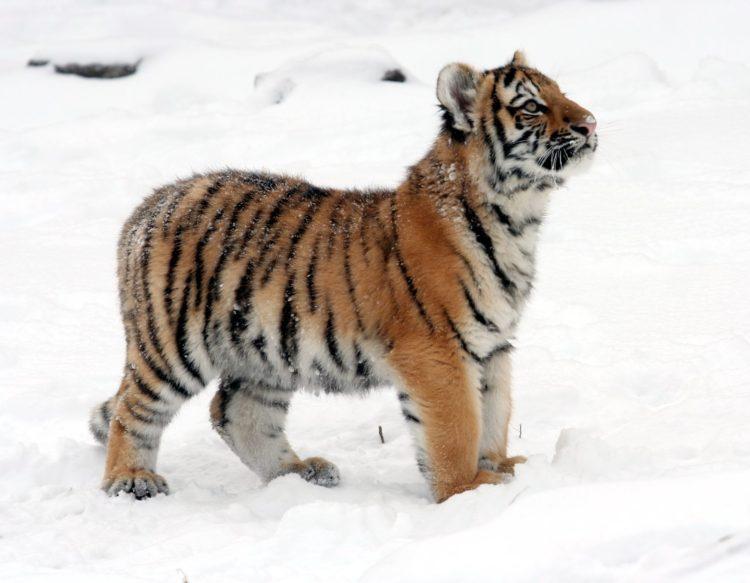 tiger-586031