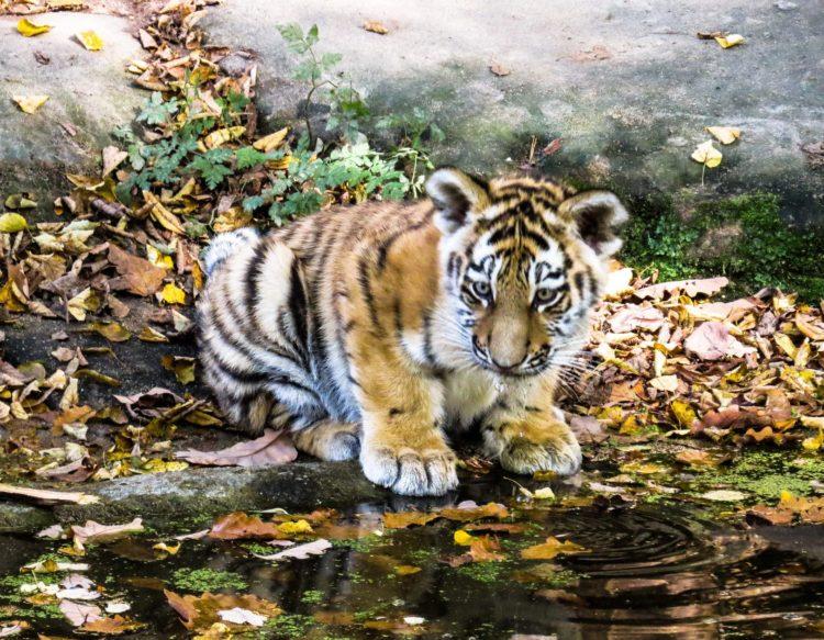 tiger-987678 (1)