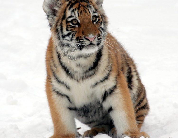 tiger-cub-585851