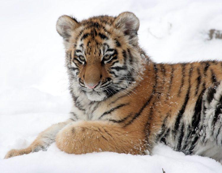 tiger-cub-586058