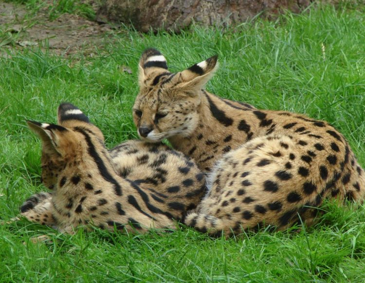 two-servals-597592