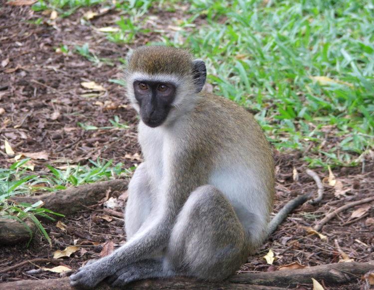 vervet-monkey-140518