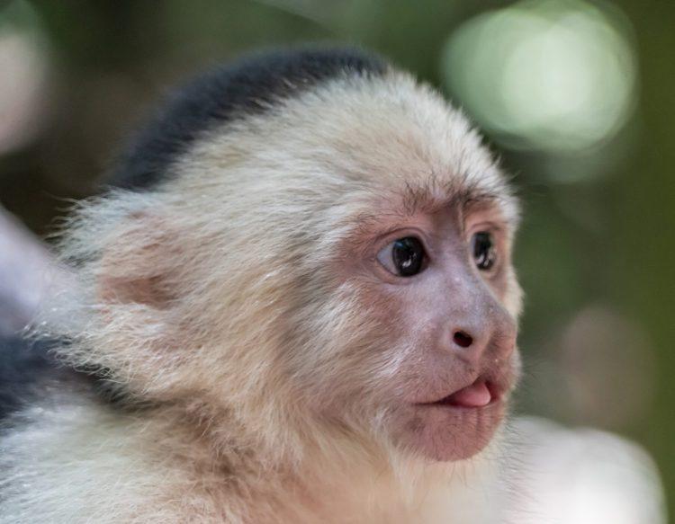 white-headed-capuchi (1)