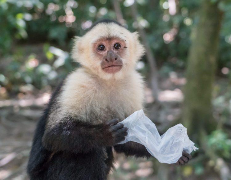 white-headed-capuchi