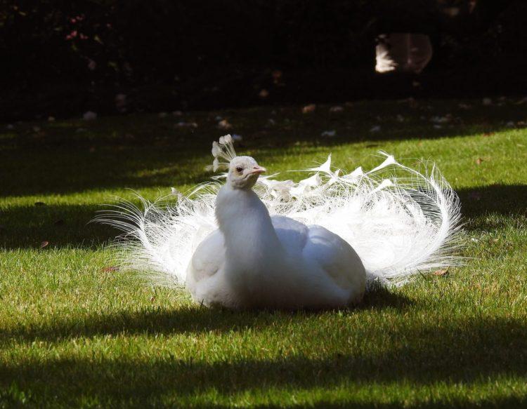 white-peacock-228508